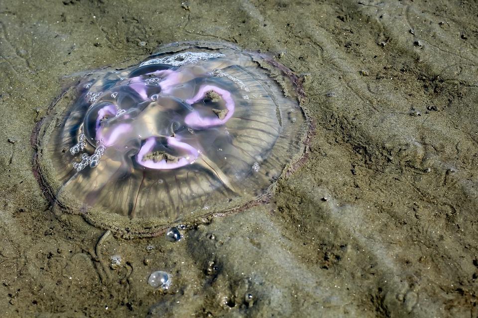 Jellyfish, North Sea, Beach, Mollusk, Sand Beach, Sand