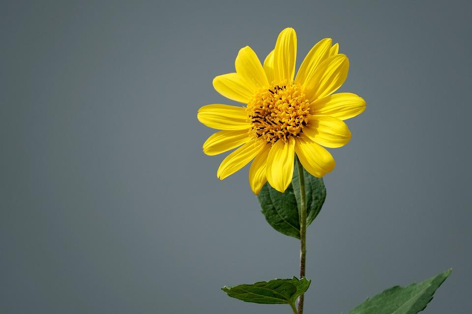 Jerusalem Artichoke, Sunflower, Flower, Plant, Petals