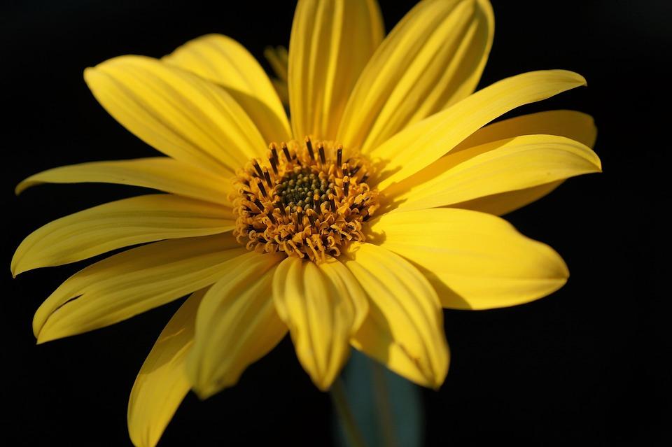 Jerusalem Artichoke, Small, Sunflower, Yellow, Flower