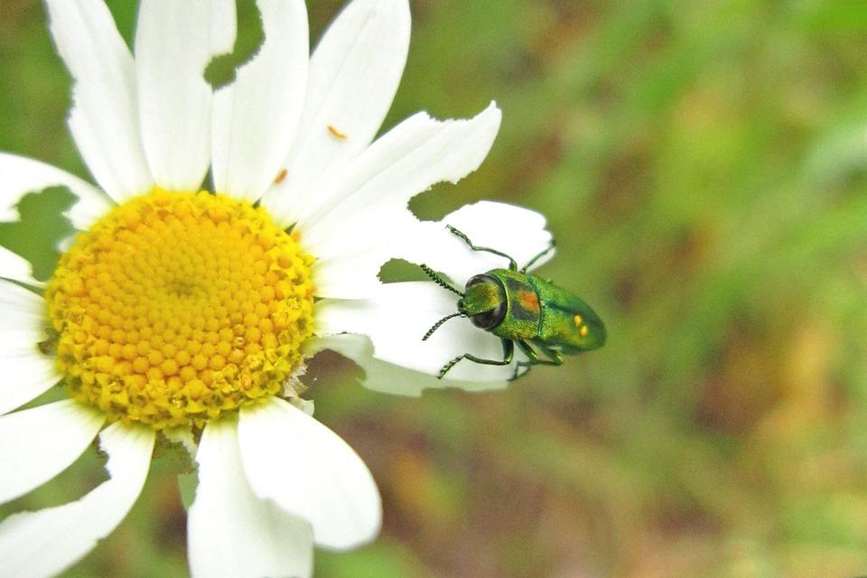 Beetle, Buprestidae, Jewel Beetle, Insect, Bug, Animal