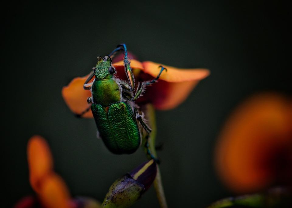 Jewel Beetle, Insect, Bug, Leg, Antennae, Emerald