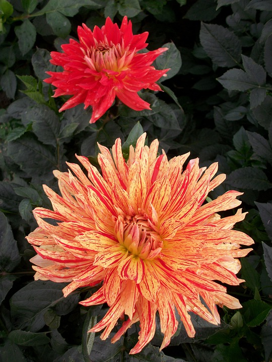 Dahlias, Jewelry Dahlia, Flower Autumn, Dahlia Garden