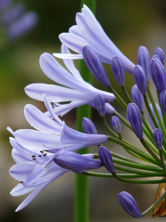 Agapanthus, Jewelry Lilies Greenhouse, Agapanthoideae