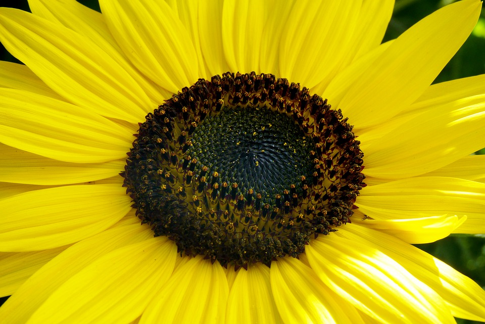 Sunflower, Flower, Jjmacedo, Nature, Patals Yellow