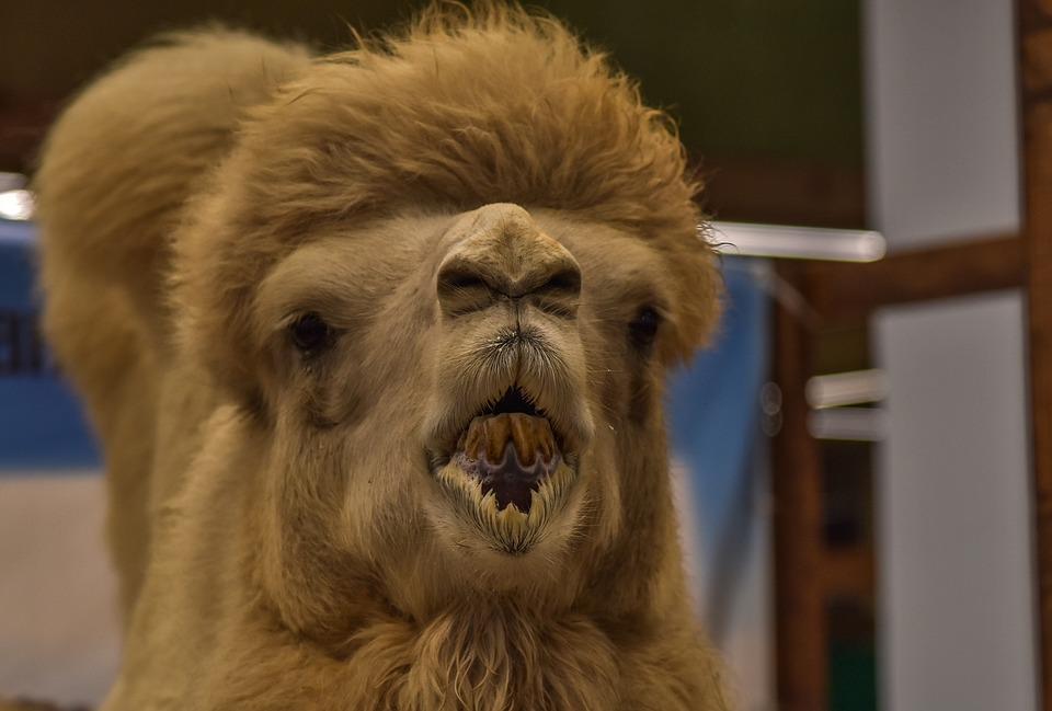 Camel, Jolly, Funny, Animal, Hump