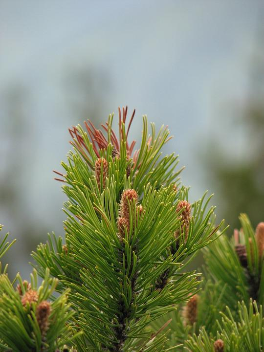 Pine, Tree, Cones, Joy