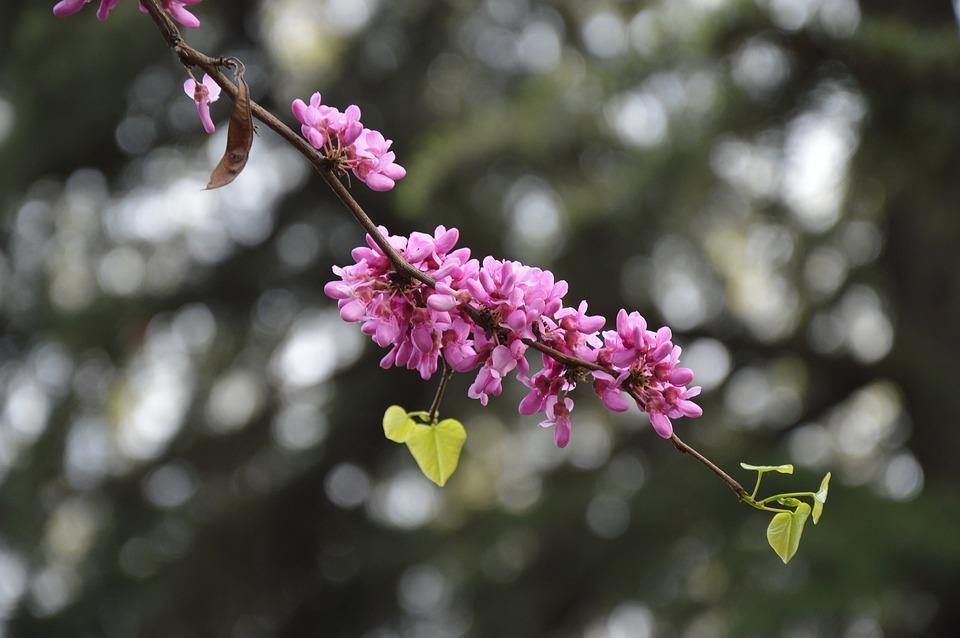 Chinese Redbuds, Judas Tree, Flowers, Purple, Blooming