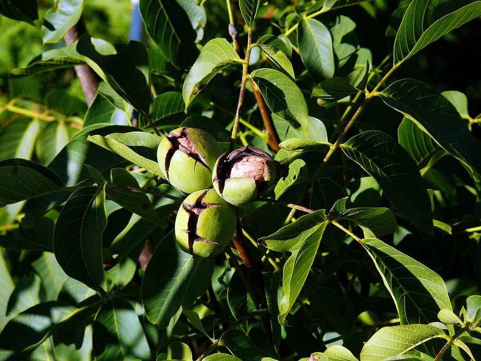 Tree Nut, Juglans Regia, Walnut, Walnut On Tree