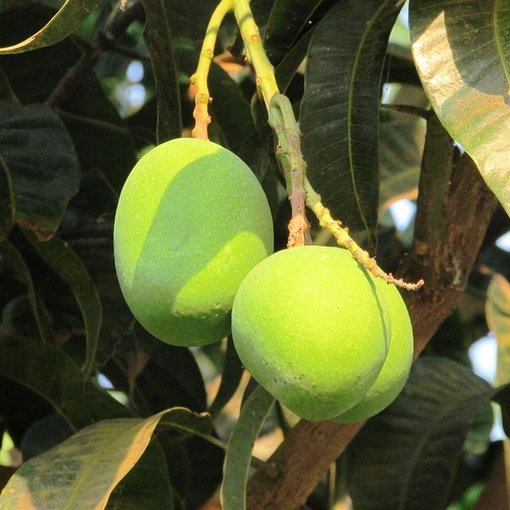 Tender Mango, Fresh Mango, Dharwad, India, Fruit, Juicy