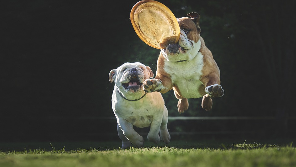 Bulldog, Dog, Stolen, Jump, Animals, Adorable, Mammals