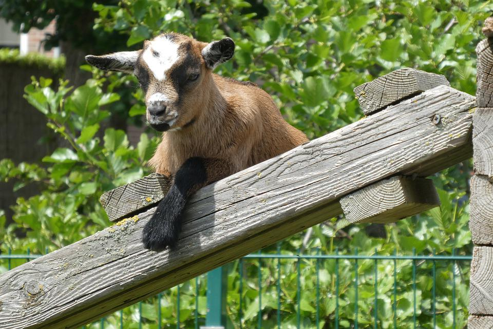 Young Goat, Playful, Goat, Frisky, Young, Cute, Jump