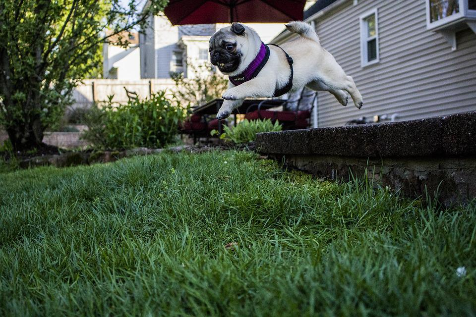 Jumping, Pug, Puppy, Cute, Dog, Funny, Doggy, Jump, Pet