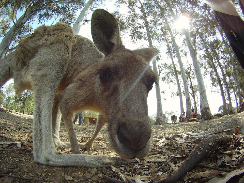 Kangaroo, Australia, Jump, Creature, Animal, Wildlife