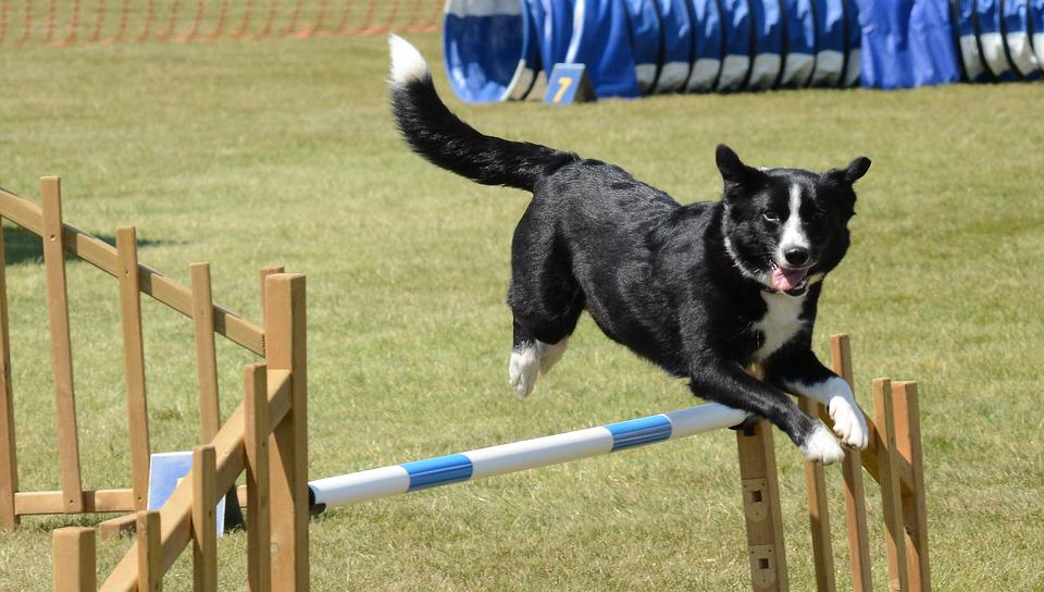 Dog, Agility, Fitness, Jump, Summer, Fun, Training