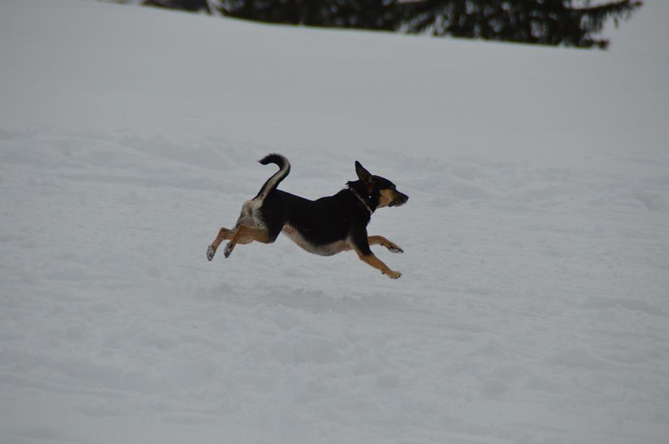 Winter, Dog, Terrier, Jump, Snow