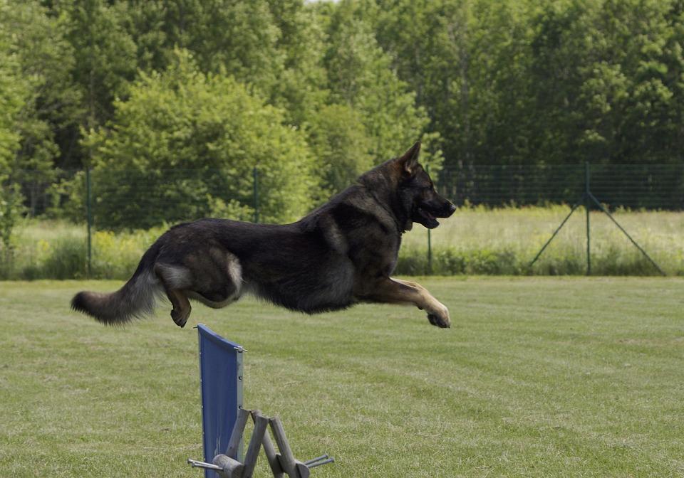 Dog, German Shepherd, Jumping, Competition, Jump