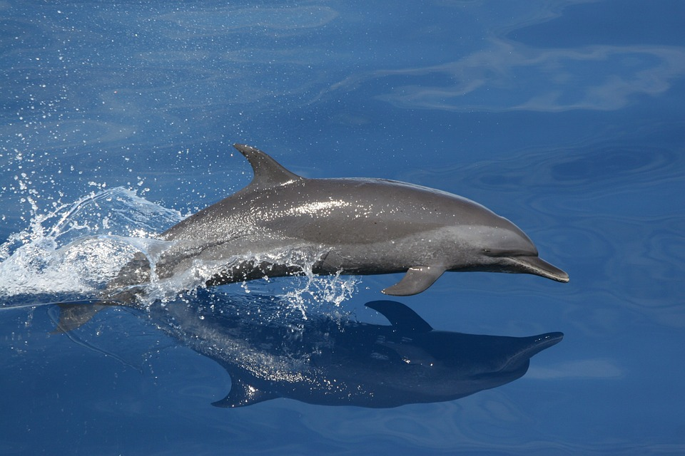 Dolphin, Swimming, Jumping, Reflection, Sea, Ocean