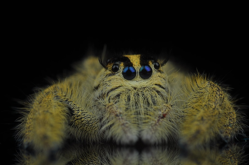 Jumping Spider, Spider, Insects, Eye, Yellow