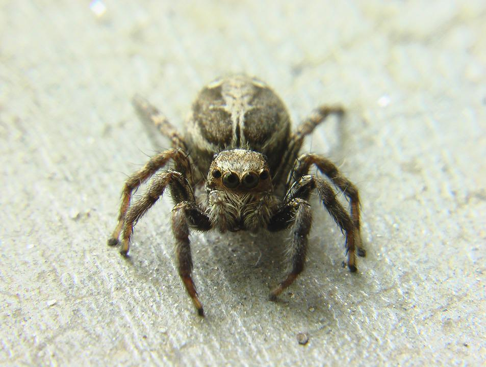 Jumping Spider, Spider, Insect