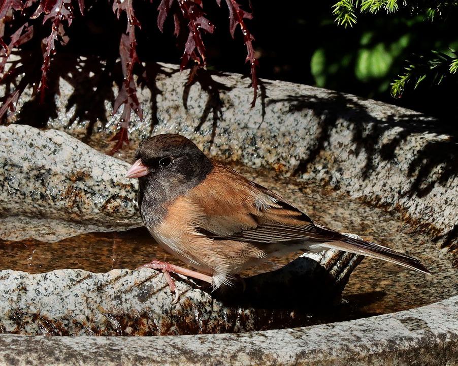 Dark-eyed Junco, Bird, Junco, Perched, Animal, Plumage