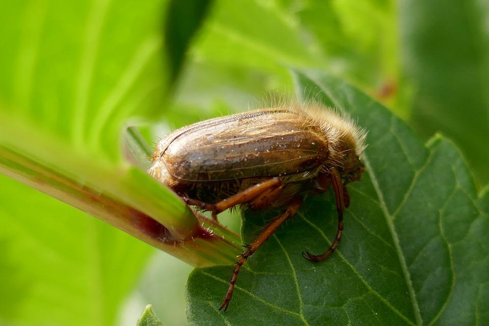 Chafer, Beetle, June, Insect, Maikäfer, Nature