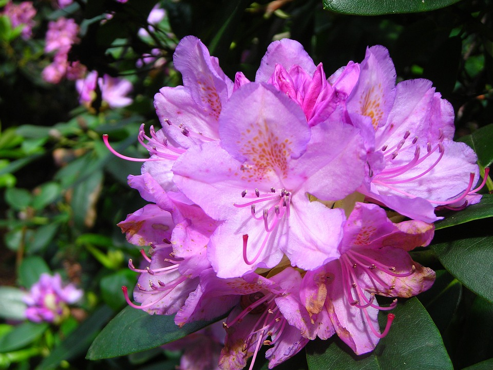 Rhododendron Flower, June, Purple, Tender, Large