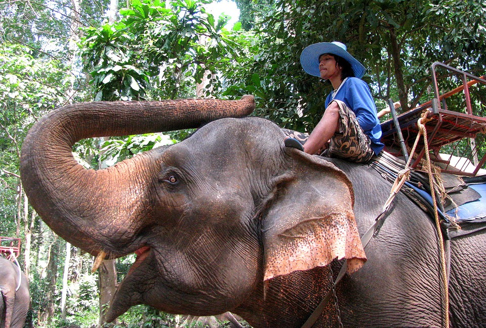 Elephant, Mahout, Jungle