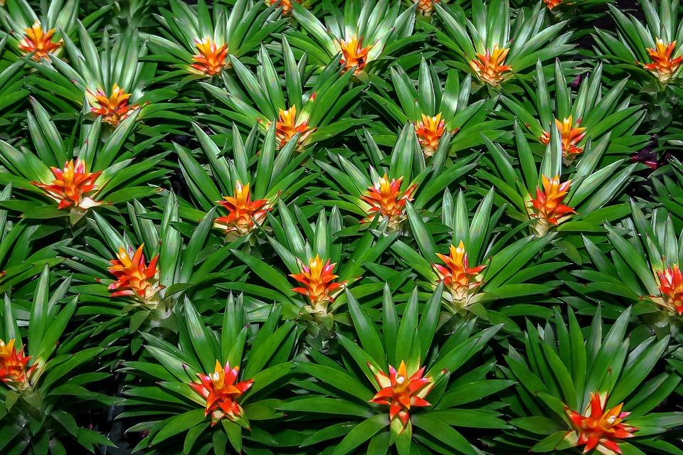 Bromeliad, Plant, Nature, Jungle, Tropics, Flora