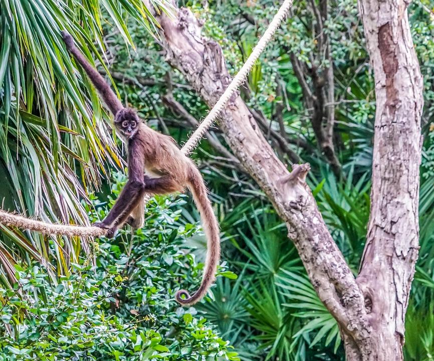 Spider Monkey, Climbing, Jungle, Animal, Mammal, Tree