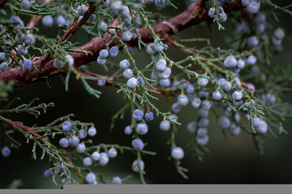 Juniper, Berries, Plant, Fruits, Tree, Bush, Flora