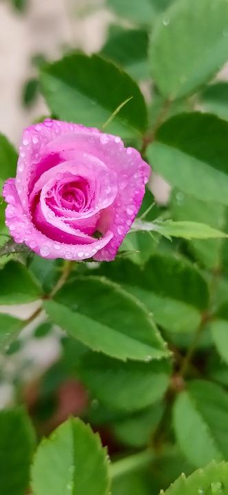 Cute Little Rose, Just Rose, Real Pink, Pink Rose, Rose