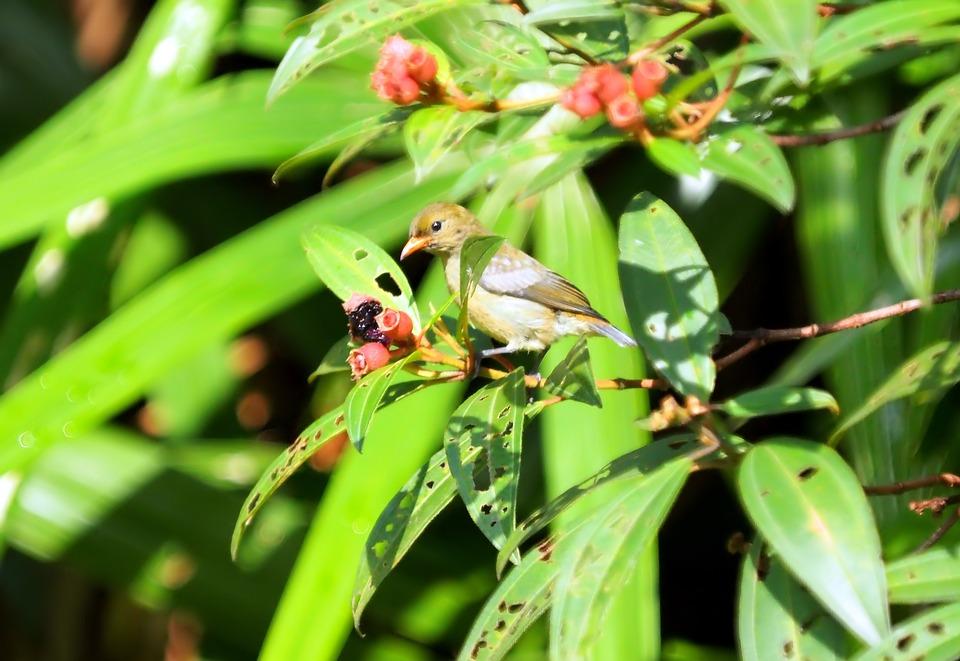 Juvenile Flowerpecker, Wild, Bird, Wildlife, Young