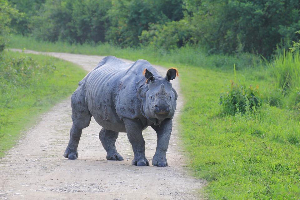 Rhino, Kaaziranga, Aggressive