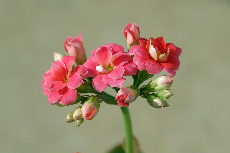 Florist Kalanchoe, Kalanchoe, Flowers, Plant