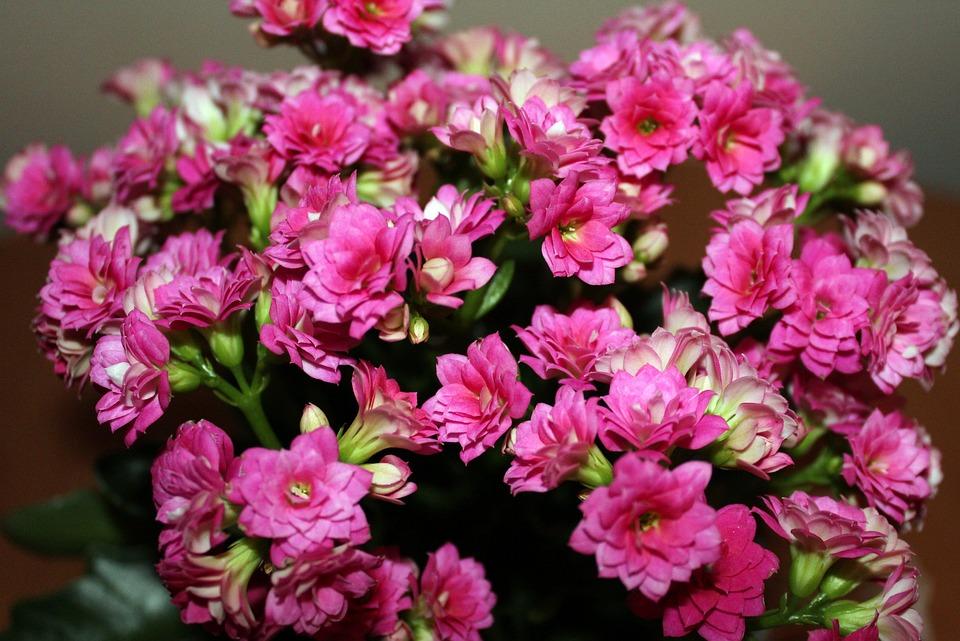 Free photo kalanchoe flowerpots small flowers blooms pink max pixel kalanchoe flowerpots pink small flowers blooms mightylinksfo