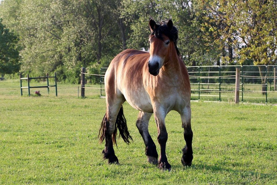 Horse, Kaltblut, Mare, Pasture, Paddock