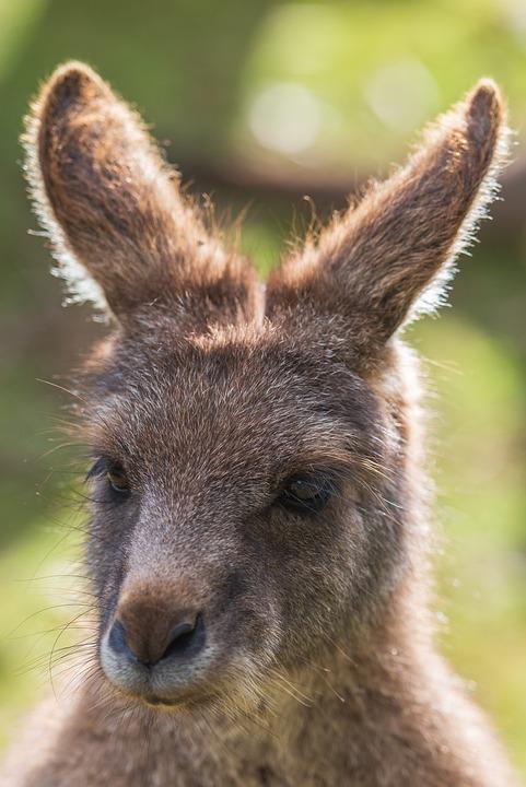 Kangaroo, Eastern Grey Kangaroo, Animal