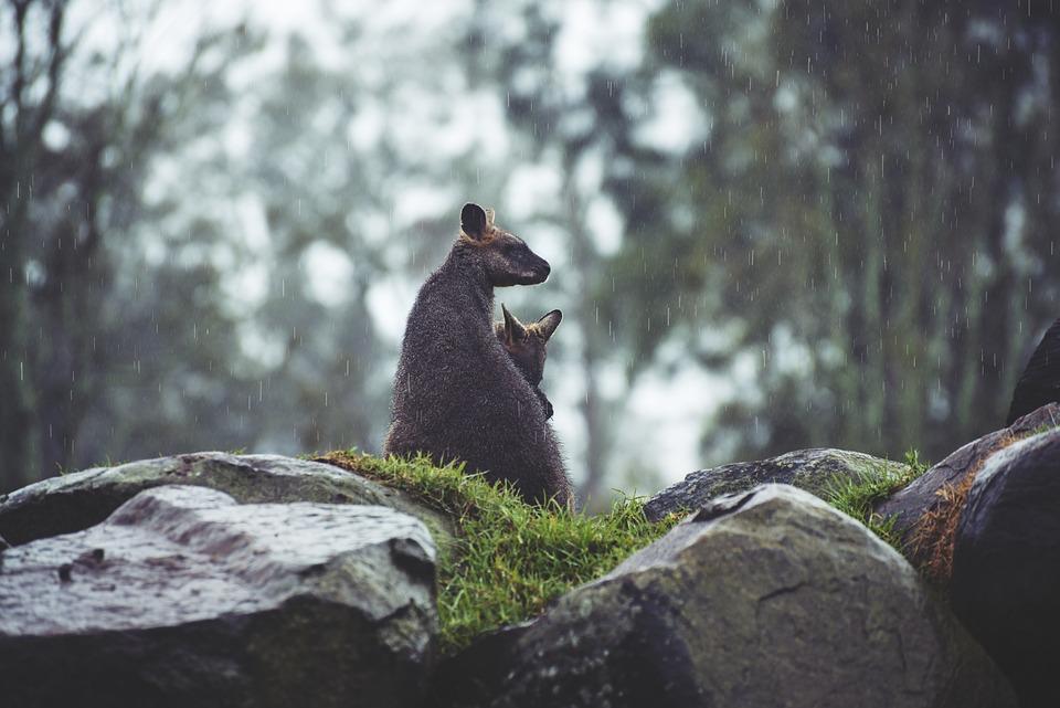 Animals, Cute, Grass, Kangaroo, Kangaroo Joey, Nature