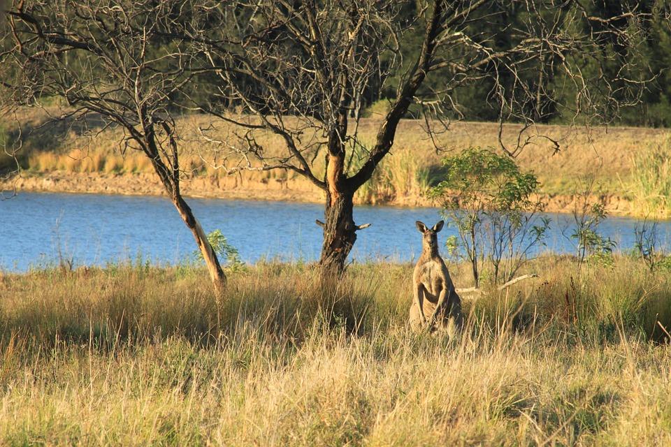 Kangaroo, Camouflage, Nature