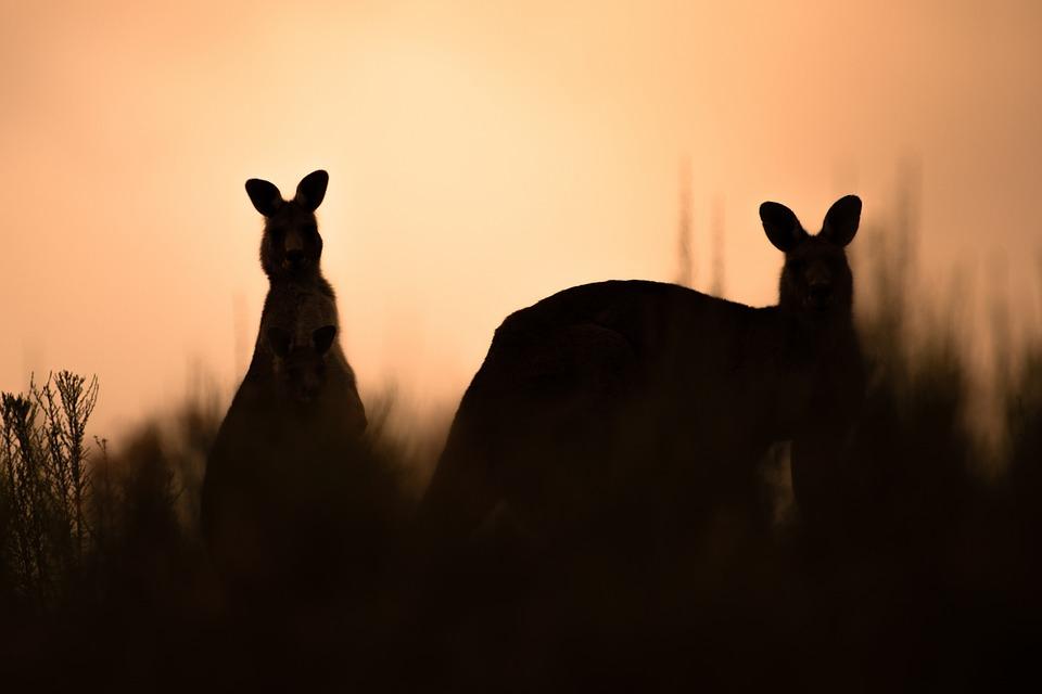 Kangaroos, Eastern Grey Kangaroos, Marsupials, Mammals