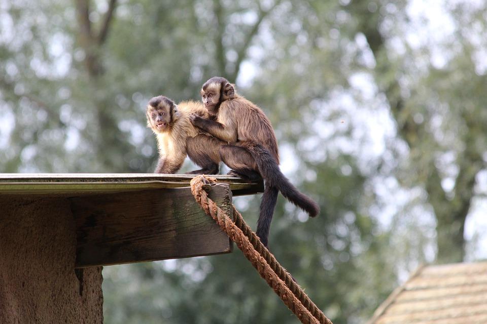 Kapucijnaapjes, Zoo, Mammal