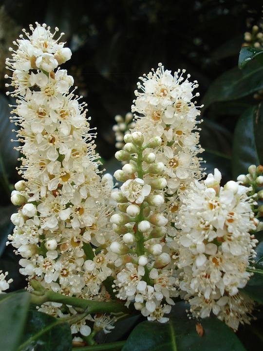 Chestnut, Kastanienbuete, White, Plant