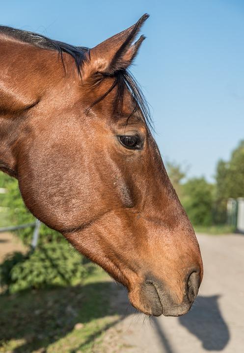 The Head Of A Horse, The Horse, Brown, Kasztanek, Horse