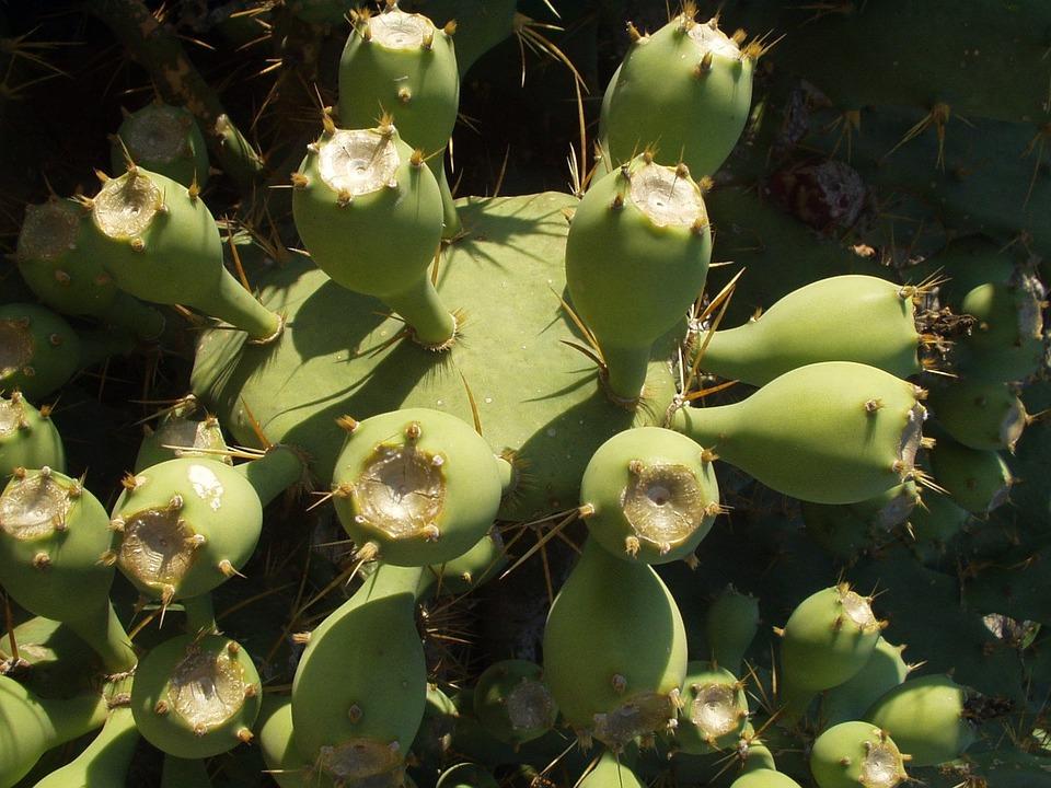 Cactus, Plant, Katusfeigen, Sting