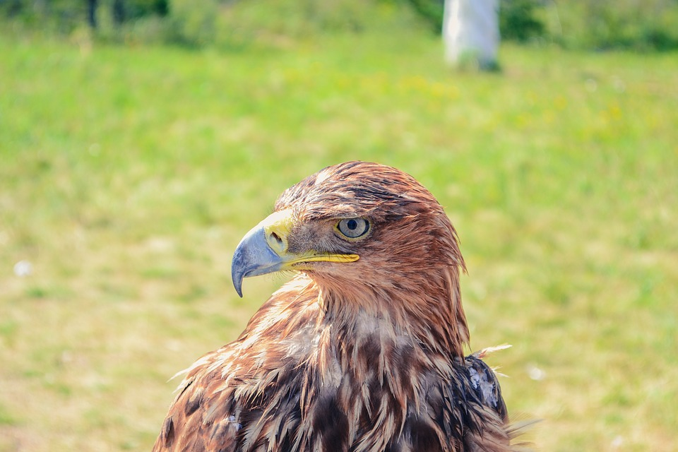 Golden Eagle, Kazakhstan, Borovoye, Bird, Predator