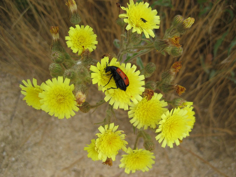 Flower Insect, Kblume, Yellow, Beetle