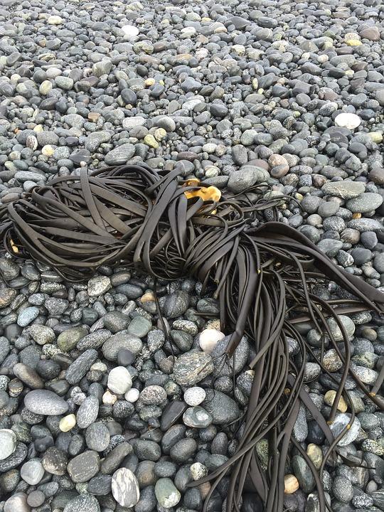 Seaweed, Kelp, Beach