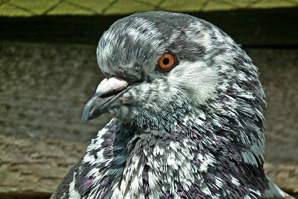 Dove, King, Kennel, Animals, Birds, Pen, Beak, Closeup