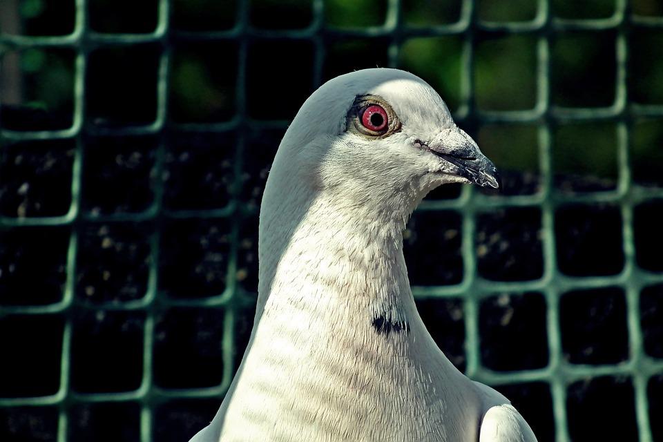 Dove, Postal Codes, White, Kennel, Bird, Plumage, Pen