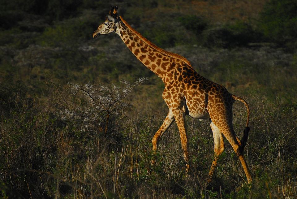 Giraffe, Endangered Species, Kenya